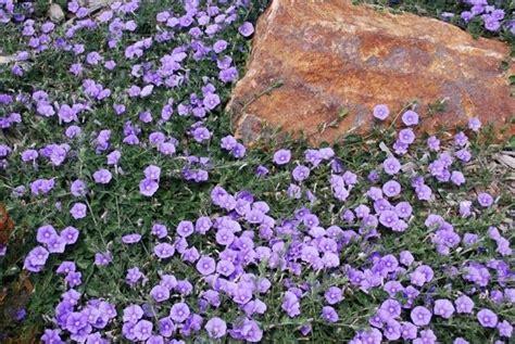 piante perenni da vaso con fiori piante erbacee perenni piante perenni caratteristiche