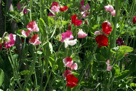 Sweet Blooms by No Flowers On Sweet Peas What To Do For Sweet Pea Flowers