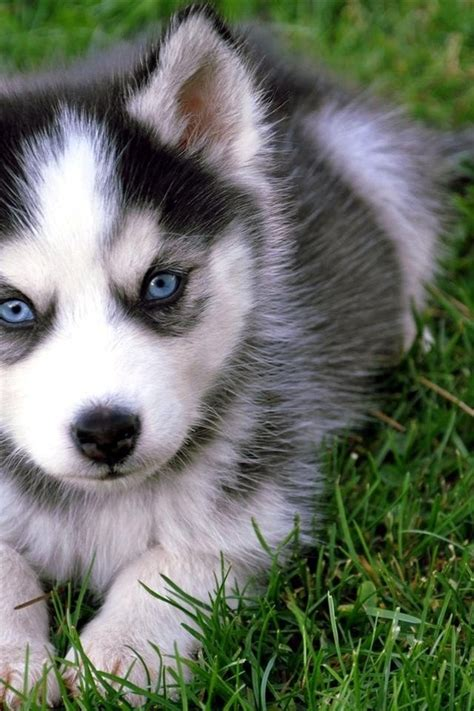 newborn husky puppies 14 husky puppies that should be illegal