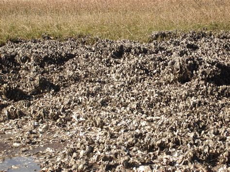 file oysterbed jpg