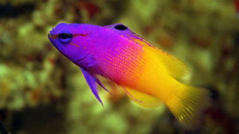 Pakan Untuk Ikan Hias Air Laut 13 ikan hias air laut yang terindah dan langka dari