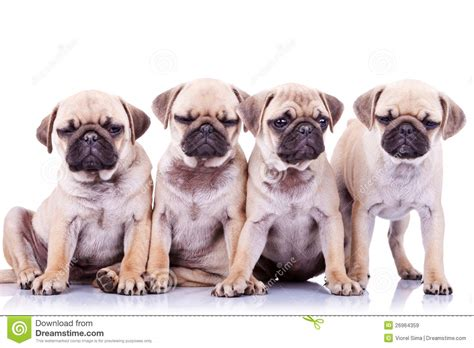 four dogs four bored mops puppy dogs royalty free stock images image 26964359