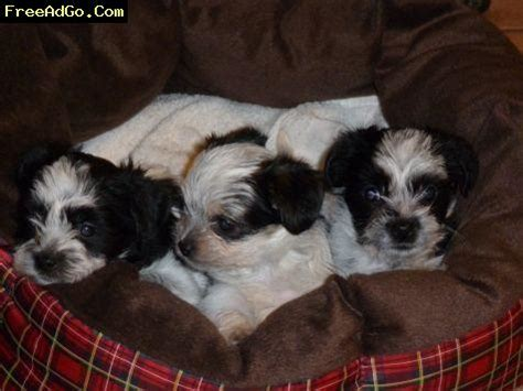shih tzu breeders michigan michigan hypoallergenic yorkie shih tzu daschund puppies acme dogs