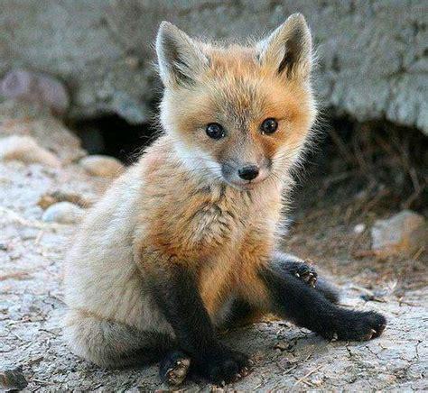 red fox cub foxes pinterest