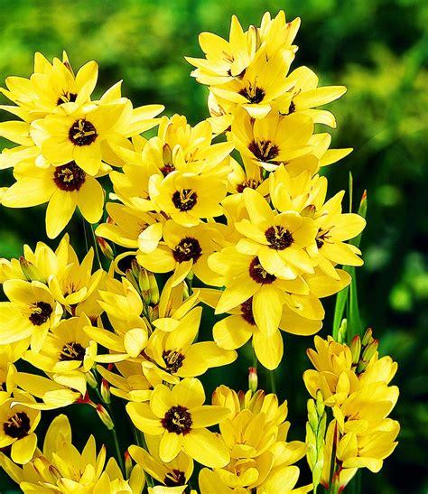 pflanzen shop ixia 180 yellow emperor 180 25 zwiebeln kaufen bei den