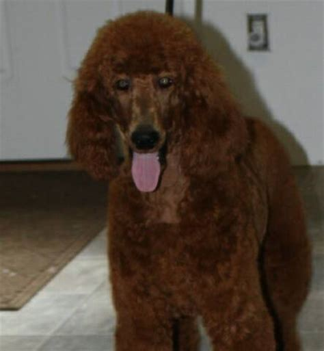 puppies for sale in daytona pin standard poodle breeders dogs puppies for sale daytona florida on