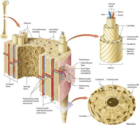 osseous tissue diagram module 6 2 microscopic structure of bone tissue anatomy
