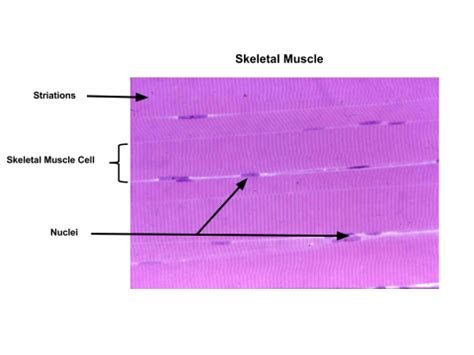 skeletal muscle longitudinal section organization of muscle tissue