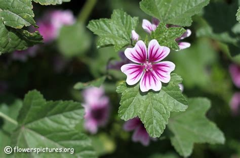 mallow flower pictures