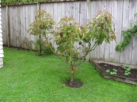 our healthy four year old avocado tree how to pollinate