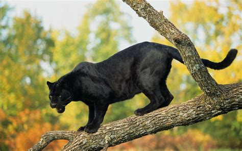 imagenes be animales fotograf 237 as de panteras negras black panthers photos