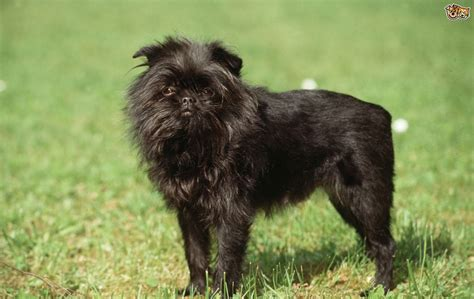 b breeds affenpinscher breed information buying advice photos and facts pets4homes