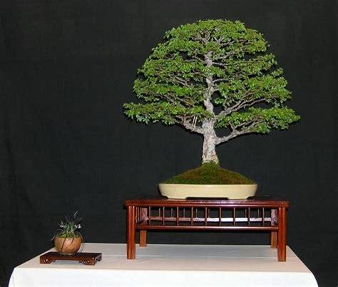 vasi bonsai cinesi prezzo bonsai attrezzi e vasi per bonsai il prezzo