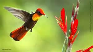 ruby topaz hummingbird calls youtube