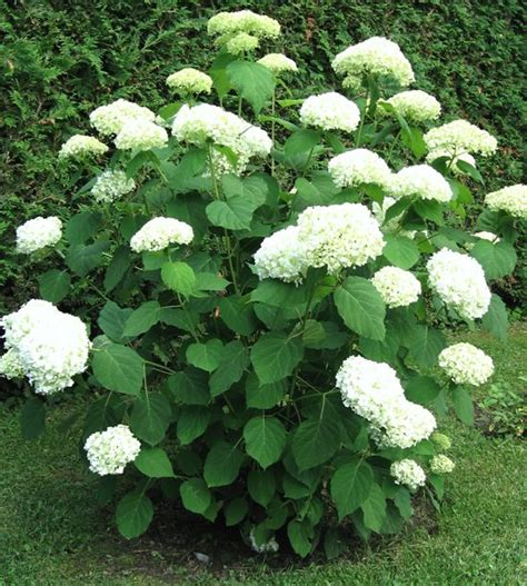 incrediball hydrangea blooms  summer  fall