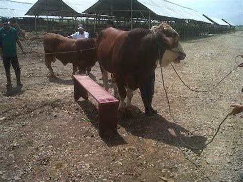Bibit Sapi Limosin Dan Simental harga sapi raksasa limosin dan simental capai rp 60 juta