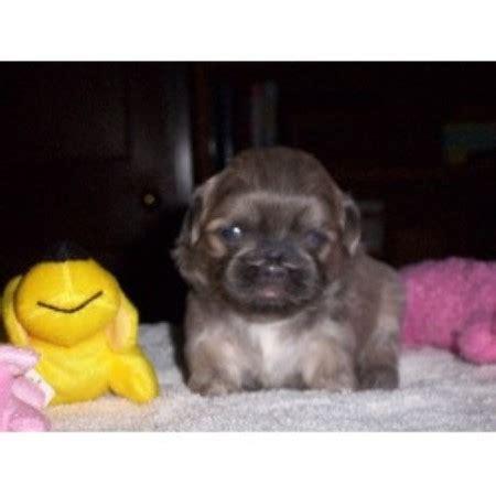 free puppies dayton ohio so darn shih tzus shih tzu breeder in dayton ohio listing id 12777