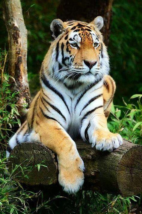 tiger tiger essential modern die 1195 besten bilder zu bengal auf wei 223 e tiger bengal katzen und katzenbabys