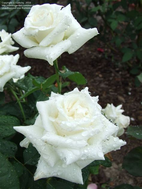 bill pascali 35 best pascali rose images on pinterest white roses