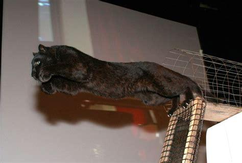 libro cats prey 361 fantastiche immagini su black panther su giaguaro nero denti e pantere