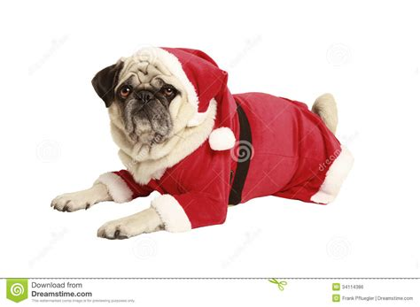 pug santa costume pug in santa costume lies and looks stock photo image 34114386