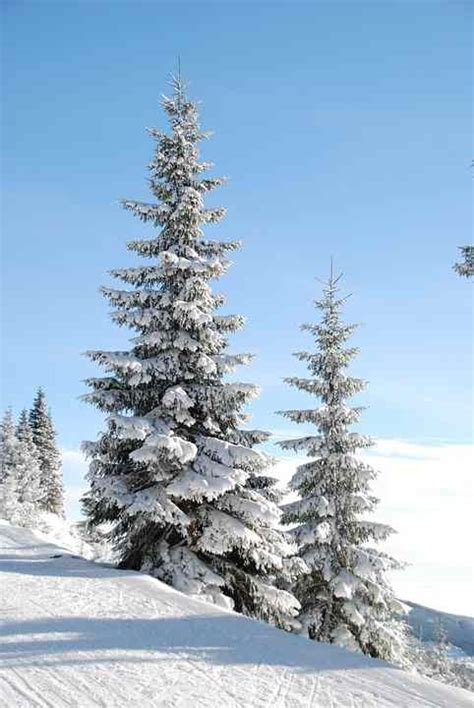 beautiful snow capped pine trees