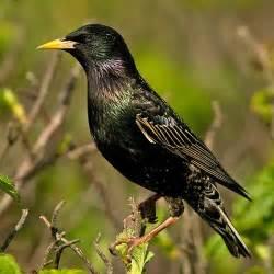 starling popular british birds gardenbird co uk