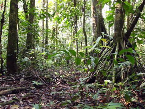 understory rainforest shrub with large leaves ecuador