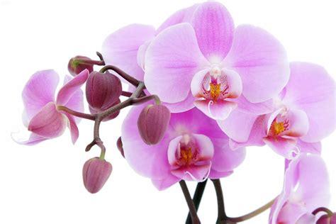 attractive pink orchids wallpaper beautiful desktop wallpapers 2014
