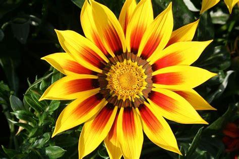 fiori simili alle margherite gazania gazania uniflora piante annuali come