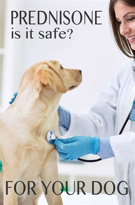 side effects of prednisone in dogs prednisone for dogs the labrador site