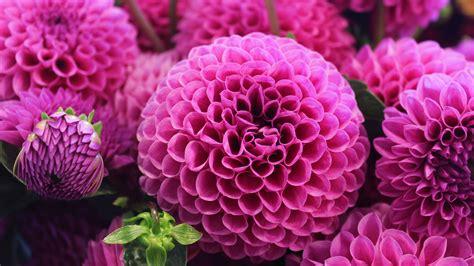 flowers image wallpaper dahlia pink flora blossom hd 4k flowers 2059