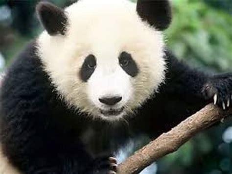 imagenes de animales en extincion top 10 animales en peligro de extincion 2015 youtube