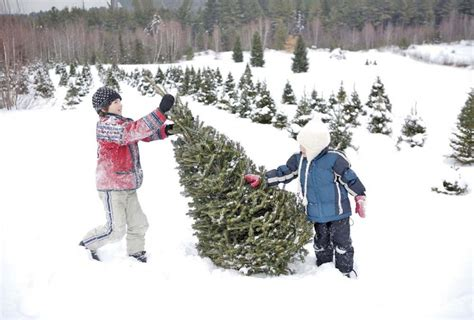 nh magazine best cut your own christmas tree tree farms