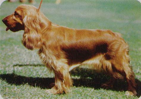 perros de raza cocker imagenes fotos de perros cocker