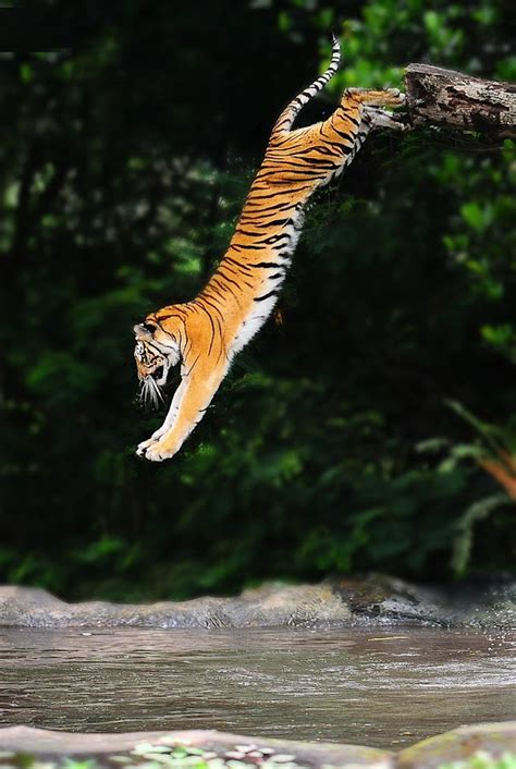 Amazing Animals Tigers amazing animals 8 pics of cats dogs and other things