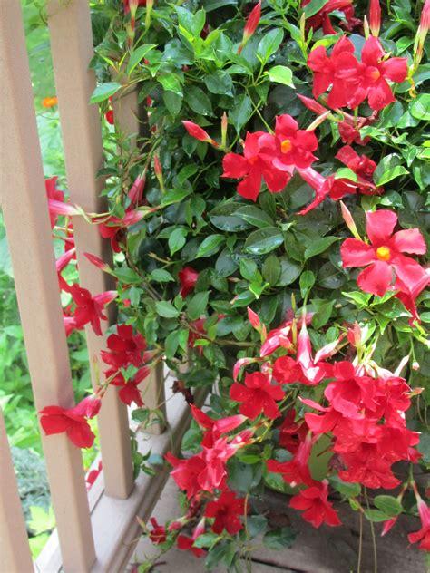Mandevilla Plant Pictures
