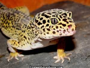 leopard gecko white tongue