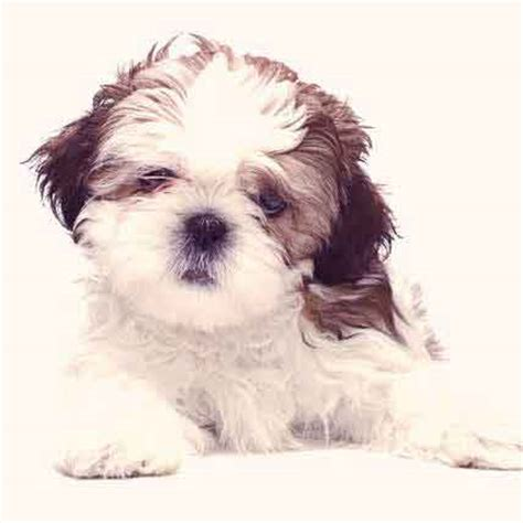 food for shih tzu food diet for a shih tzu petcarerx