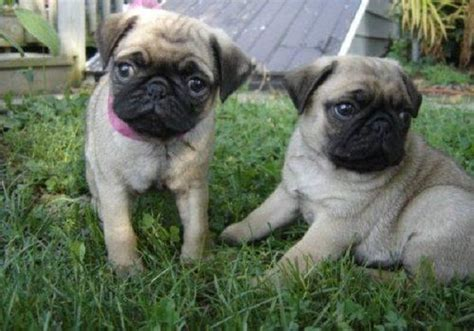 pugs for sale in michigan pin by endar vitria on baby animals
