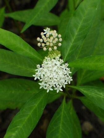 white milkweed aquatic milkweed perennials  eden