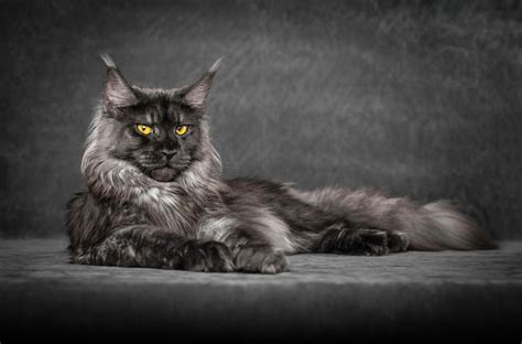 This man photographs Maine Coon cats and makes them look