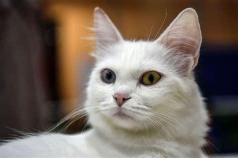 world cat world cat show in istanbul kr 246 nt die sch 246 nsten katzen