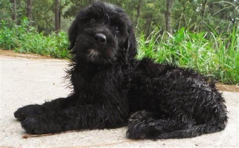 black goldendoodle puppies black goldendoodle haircuts newhairstylesformen2014