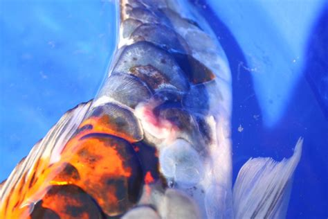 Fish For Shedding by Saltwater Fish With Scales Lowcountry Quot Fish Scales Quot Sc
