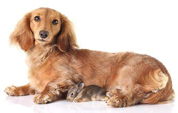 dotsons puppies dachshund puppies breed breeds picture