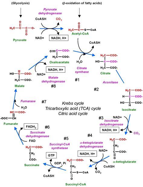 glycolysis diagram tca biochemist01