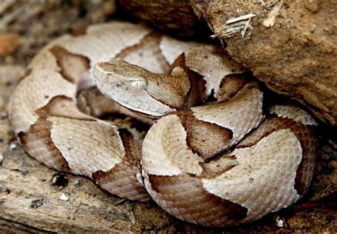 copperhead bite copperhead snake facts and pictures reptile fact