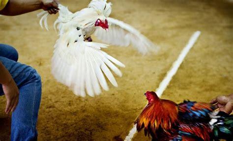 gallos de peleas 2015 las mejores peleas de gallos a pico 2015 mejores peleas