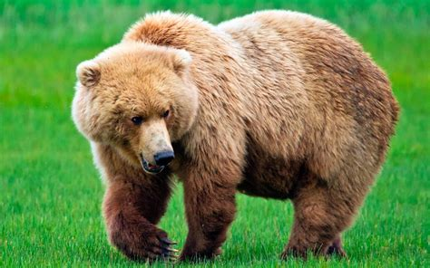 imagenes de osos fuertes imagenes oso negro related keywords imagenes oso negro